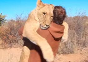 Vídeo mostra a alegre reunião de uma leoa com seu criador
