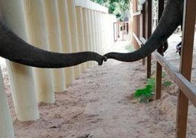O elefante mais solitário do mundo fez amigos e agora está feliz